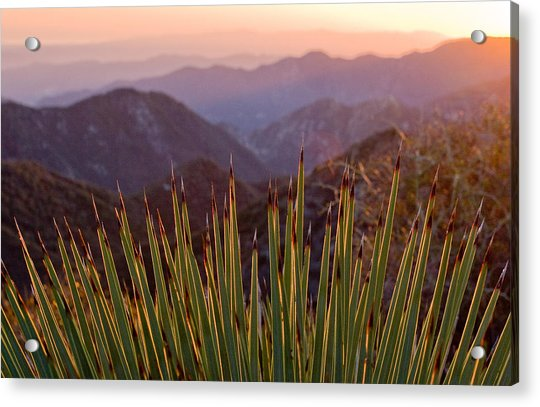 Yucca Spikes Acrylic Print