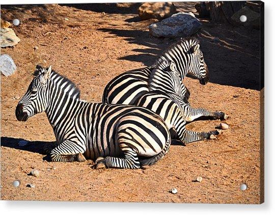 Zebra1 Acrylic Print