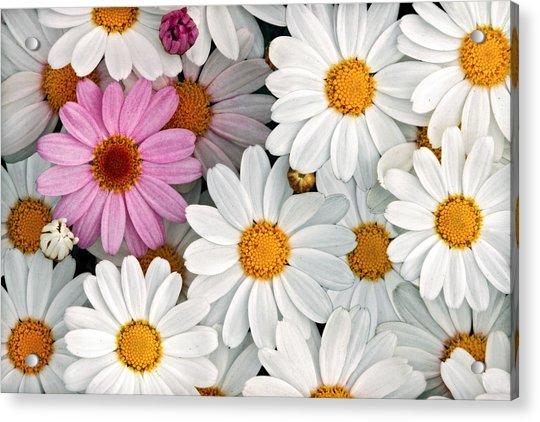 Daisy Maze Acrylic Print by Donna Pagakis
