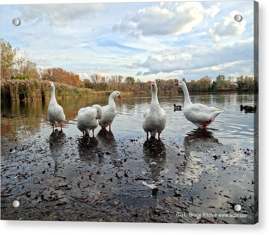 A Gaggle Of Geese 1 Acrylic Print