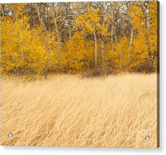 Aspen And Grass Acrylic Print