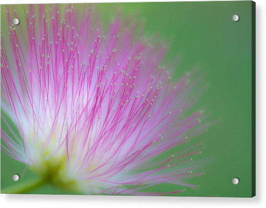 Awesome Blossom Acrylic Print