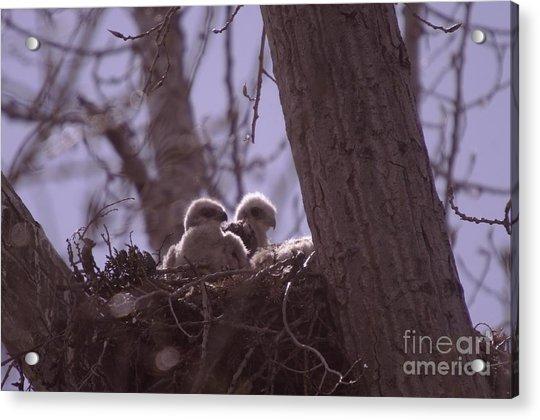 Baby Hawks Acrylic Print
