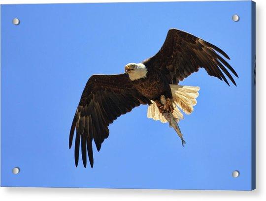 Bald Eagle Catch Acrylic Print