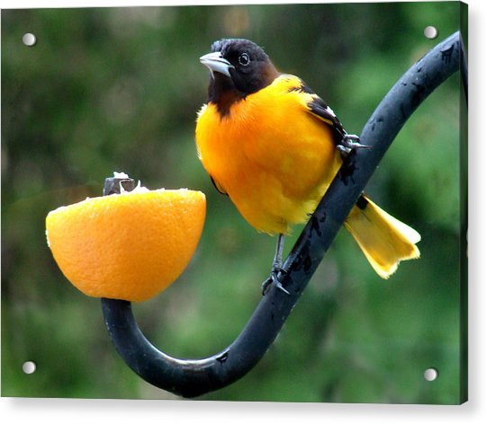 Baltimore Oriole And Orange Acrylic Print