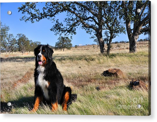 Bernese Mountain Dog In California Chaparral Acrylic Print