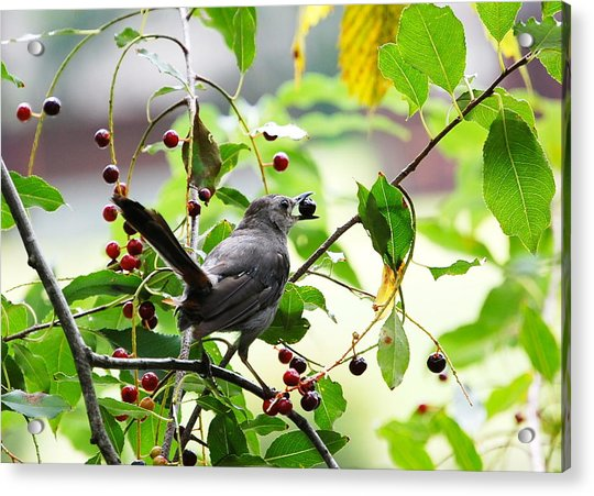 Catbird With Berry - Rear View Acrylic Print