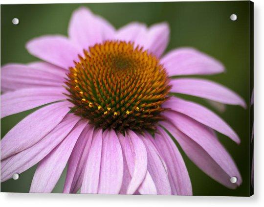 Coneflower Closeup Acrylic Print