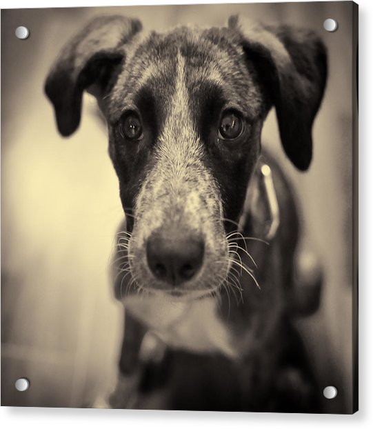 Acrylic Print featuring the photograph Cute Dog Portrait by Mirko Chessari