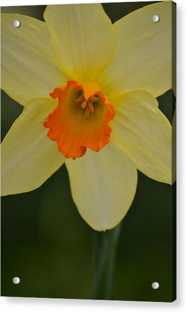 Daffodilicious Acrylic Print