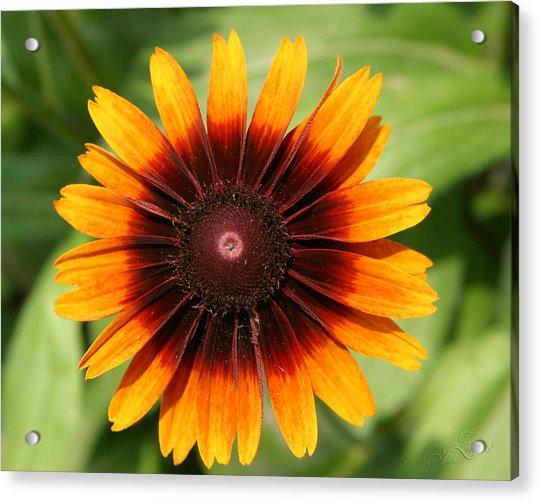 Daisey In Full Bloom Acrylic Print