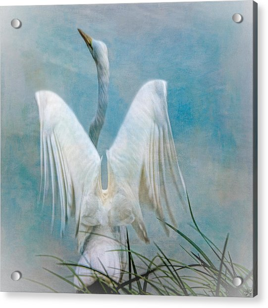 Acrylic Print featuring the photograph Egret Preparing To Launch by Chris Lord