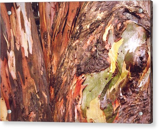 Acrylic Print featuring the photograph Eucalyptus Tree by Cynthia Marcopulos
