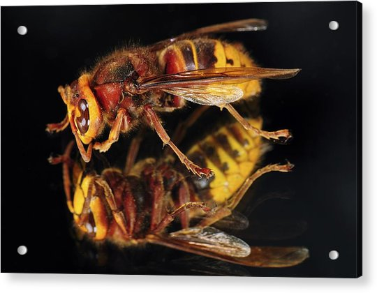 European Hornet On A Mirror Acrylic Print