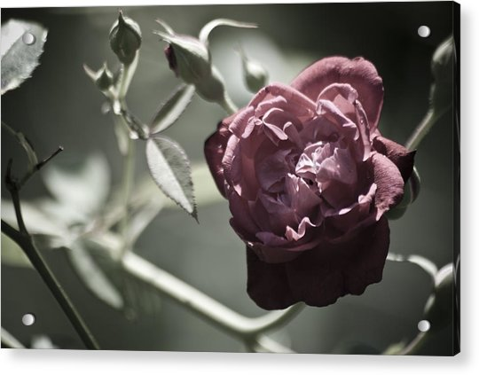 Faded Flower Acrylic Print