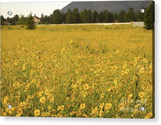 Field Of Yellow Daisy's Acrylic Print