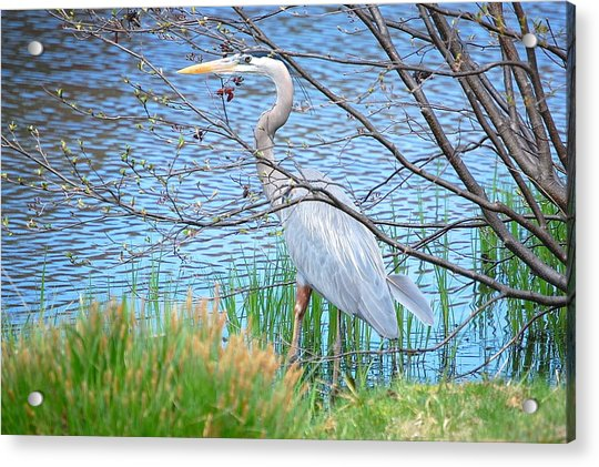 Great Blue Heron At Pond's Edge Acrylic Print