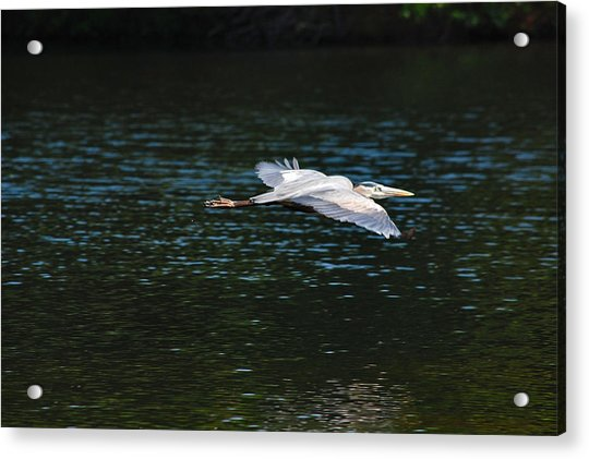 Great Blue Heron Illuminated Acrylic Print