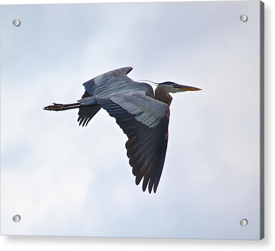 Great Blue Heron In Cloudy Sky Acrylic Print