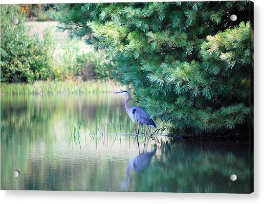 Great Blue Heron In Pines Acrylic Print