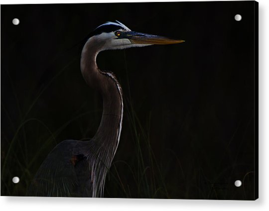 Great Blue Heron In The Sea Oats Acrylic Print