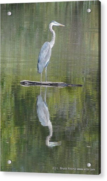 Great Blue Heron On Lake Chipican Acrylic Print