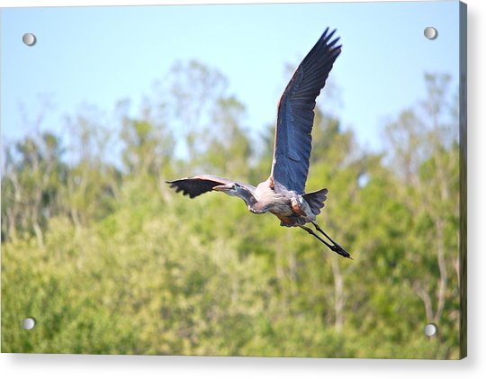 Great Blue Heron Underbelly Acrylic Print