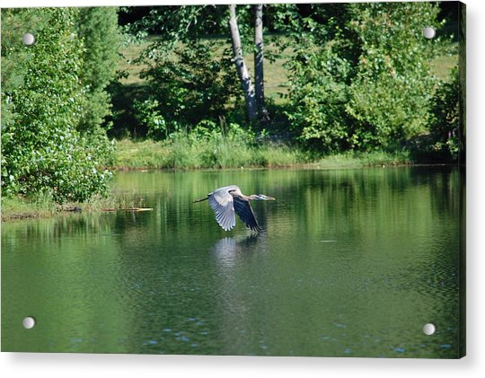 Great Blue Heron's World Acrylic Print