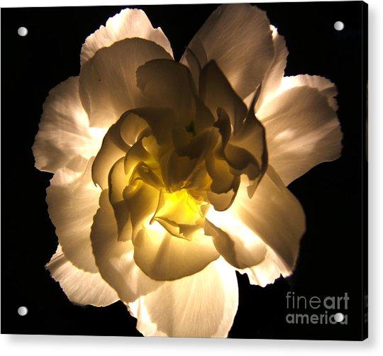Illuminated White Carnation Photograph Acrylic Print