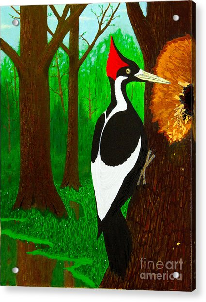 Ivory-billed Woodpecker Acrylic Print
