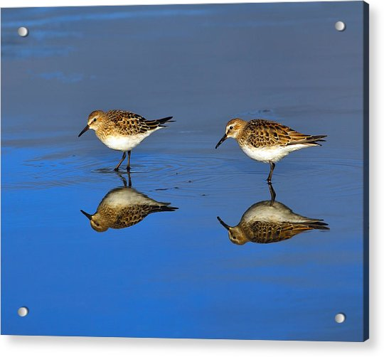 Juvenile White-rumped Sandpipers Acrylic Print