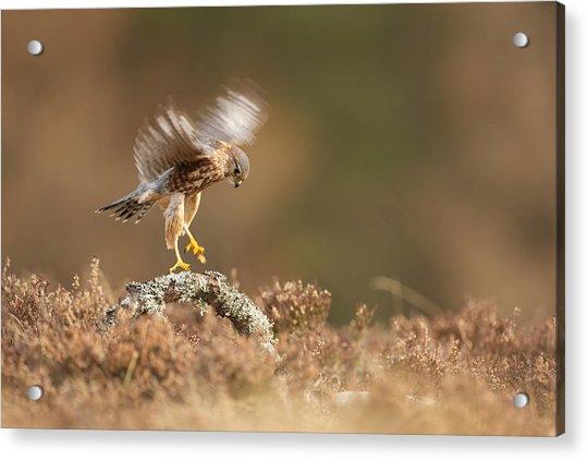 Landing Merlin Falco Columbarius   Acrylic Print by Nigel  Atkinson