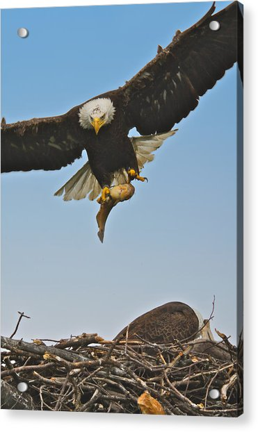 Male Eagle With Dinner Acrylic Print