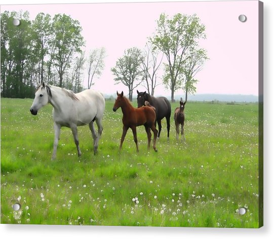 Mares And Foals In Dandelions Acrylic Print