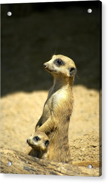 Acrylic Print featuring the photograph Meerkat Mother And Baby by Carolyn Marshall