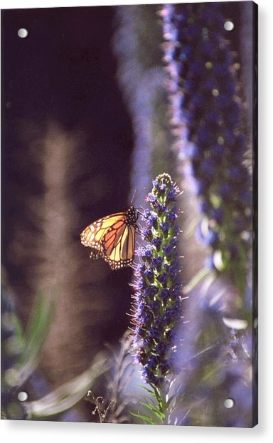 Acrylic Print featuring the photograph Monarch Butterfly by Cynthia Marcopulos