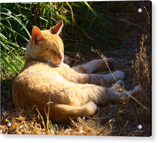 Napping Orange Cat Acrylic Print
