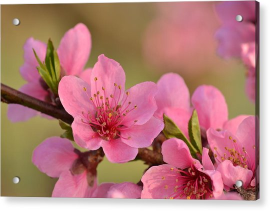 Peach Beautiful Acrylic Print