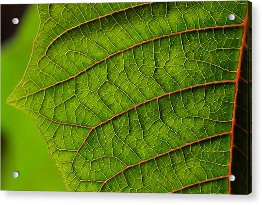 Poinsettia Leaf I Acrylic Print