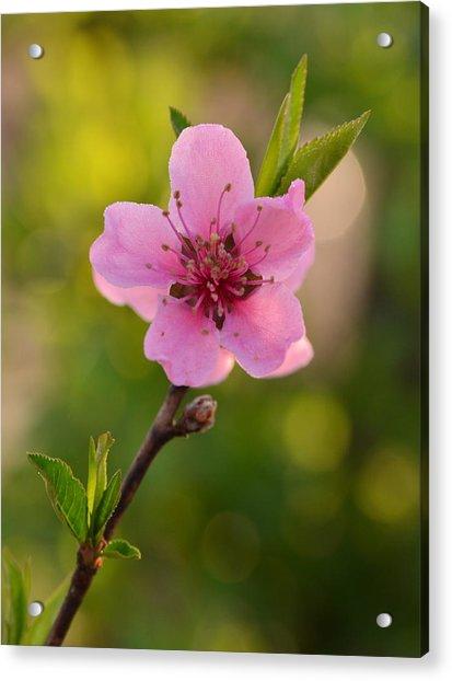 Pretty Pink Peach Acrylic Print