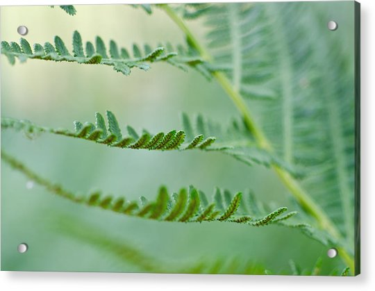 Reaching Ferns Acrylic Print by Margaret Pitcher
