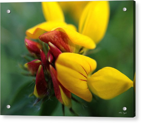 Scotch Broom Acrylic Print
