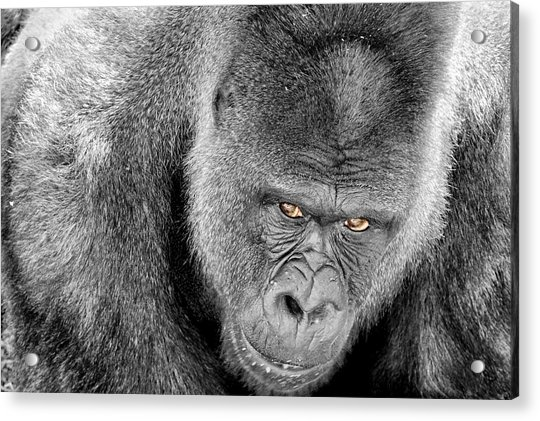 Acrylic Print featuring the photograph Silverback Staredown by Jason Politte