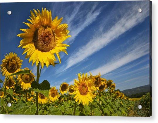 Sunflower Seranade Acrylic Print