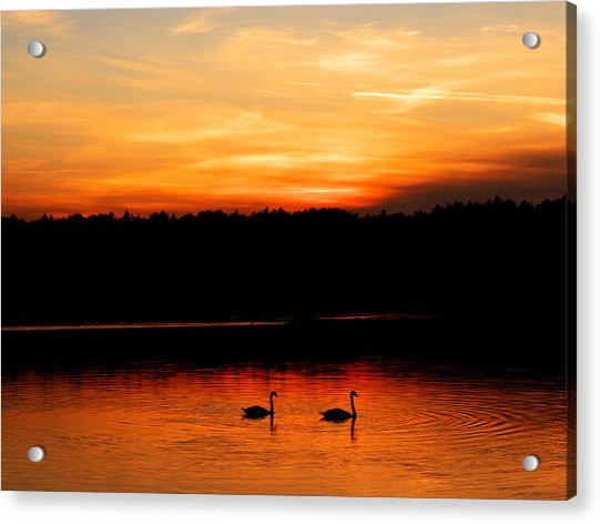 Swans In The Sunset Acrylic Print
