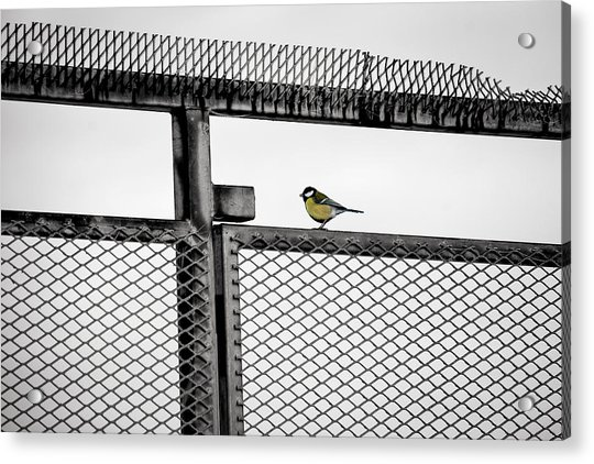 The Great Tit Acrylic Print
