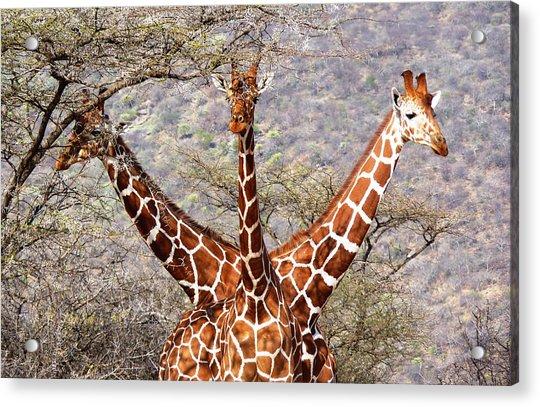 Three Headed Giraffe Acrylic Print