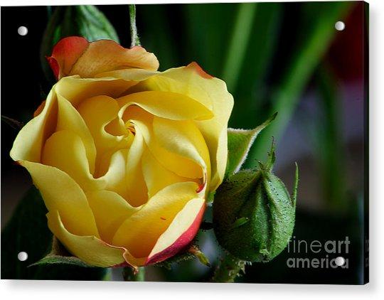 Tiny Rose Acrylic Print