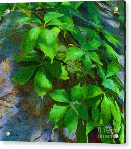 Virginia Creeper Acrylic Print