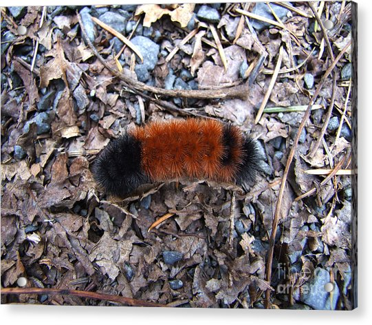 Wooly Bear Caterpillar Acrylic Print